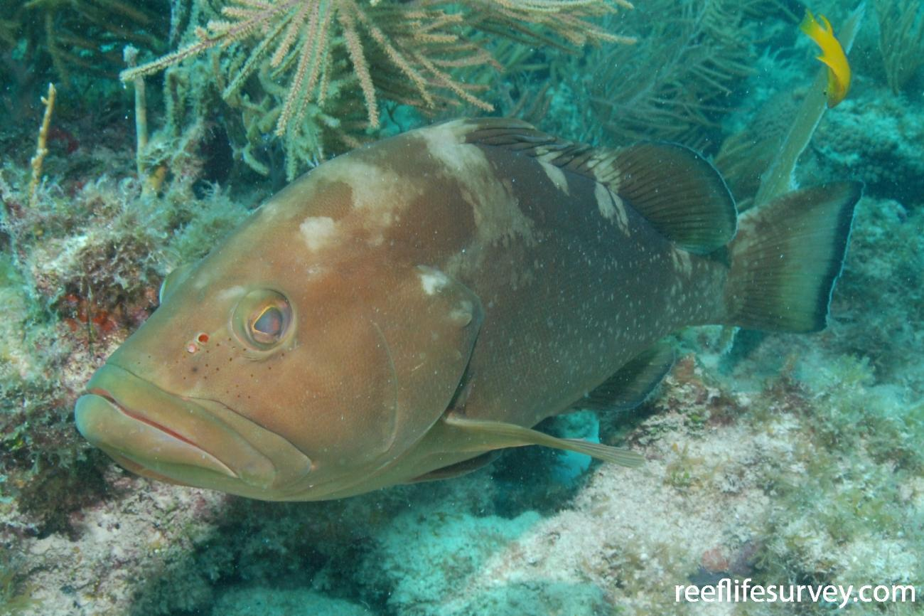 Epinephelus morio, Florida Keys, USA,  Photo: Graham Edgar