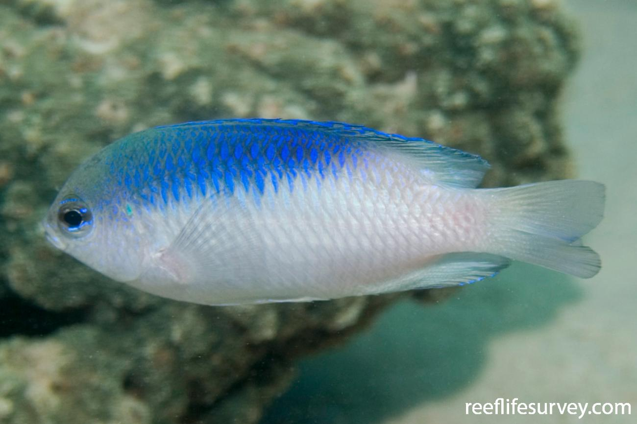 Pomacentrus australis, Adult, Great Keppel Is, QLD,  Photo: Andrew Green