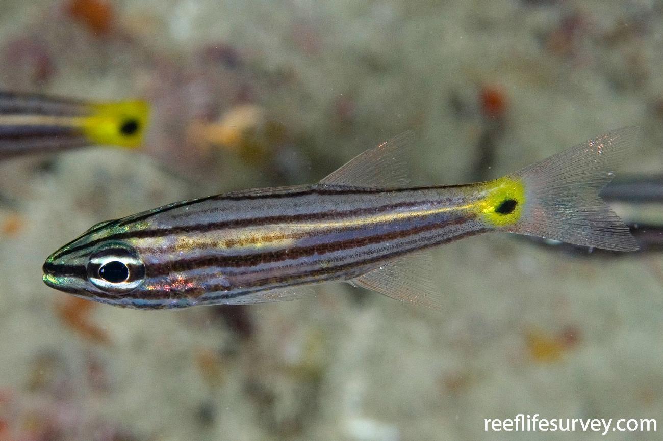 Cheilodipterus artus, Juvenile, Naigani Is, Fiji,  Photo: Andrew Green