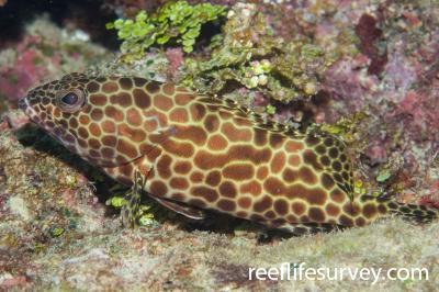 Epinephelus merra: Great Barrier Reef, Cairns, QLD,  Photo: Andrew Green