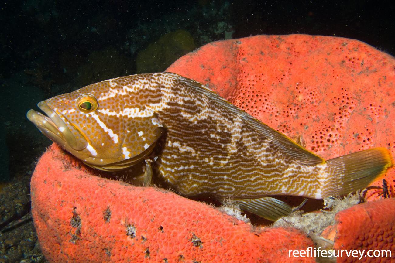 Epinephelus undulatostriatus,  Photo: Thierry Rakotoarivelo