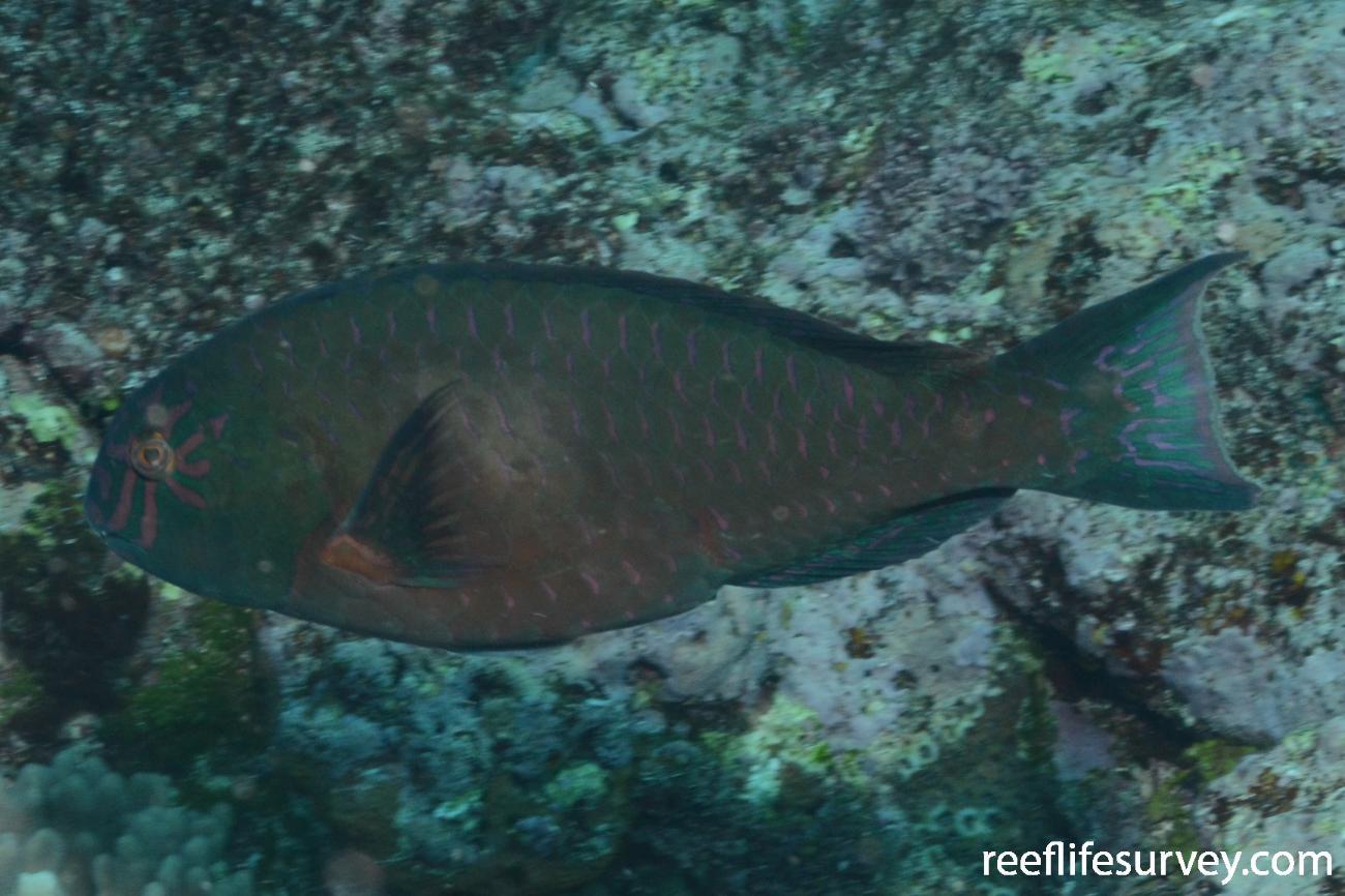 Calotomus carolinus, Tonga,  Photo: Graham Edgar