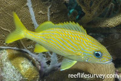 Haemulon flavolineatum: Bonaire,  Photo: Rick Stuart-Smith