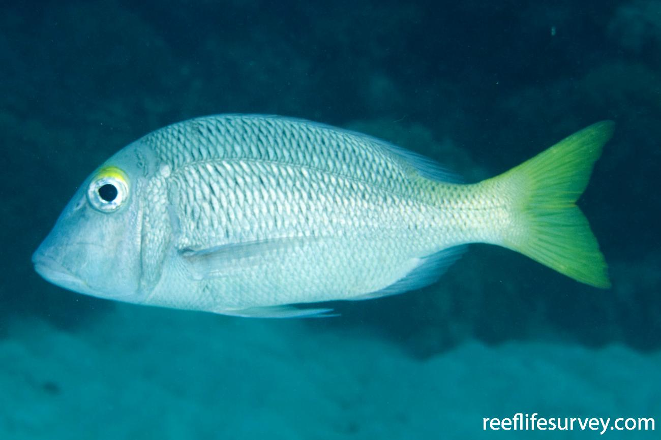 Lethrinus atkinsoni, Great Barrier Reef, Cairns, QLD,  Photo: Andrew Green