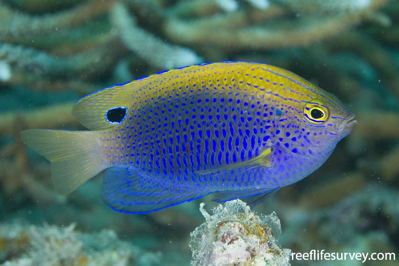 Pomacentrus vaiuli, Adult, Naigani Is, Fiji,  Photo: Andrew Green