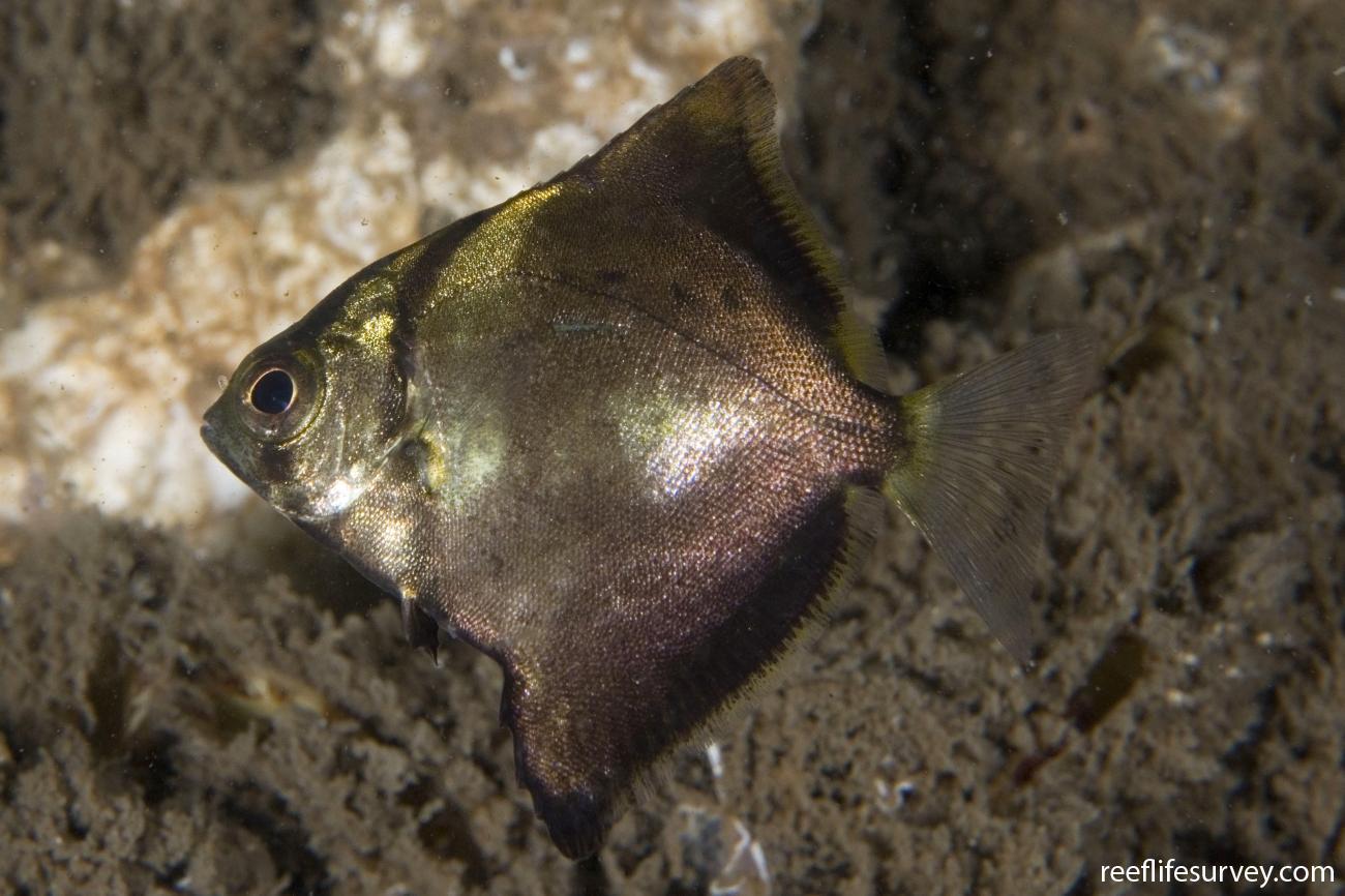 Monodactylus argenteus, Juvenile, Jervis Bay, NSW,  Photo: Andrew Green