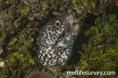 Gymnothorax moringa: Belize,  Photo: Rick Stuart-Smith