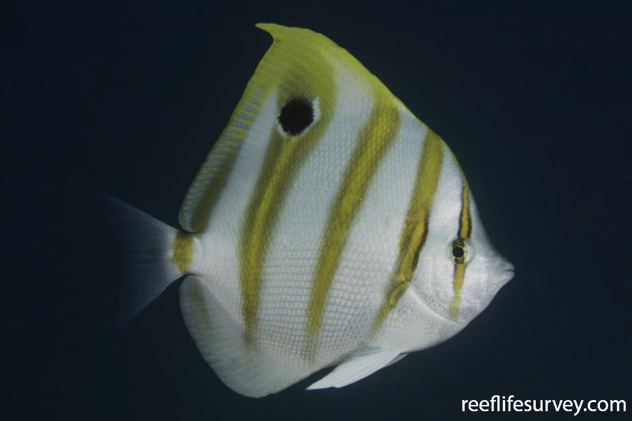 Parachaetodon ocellatus, Ningaloo Reef, WA,  Photo: Rick Stuart-Smith