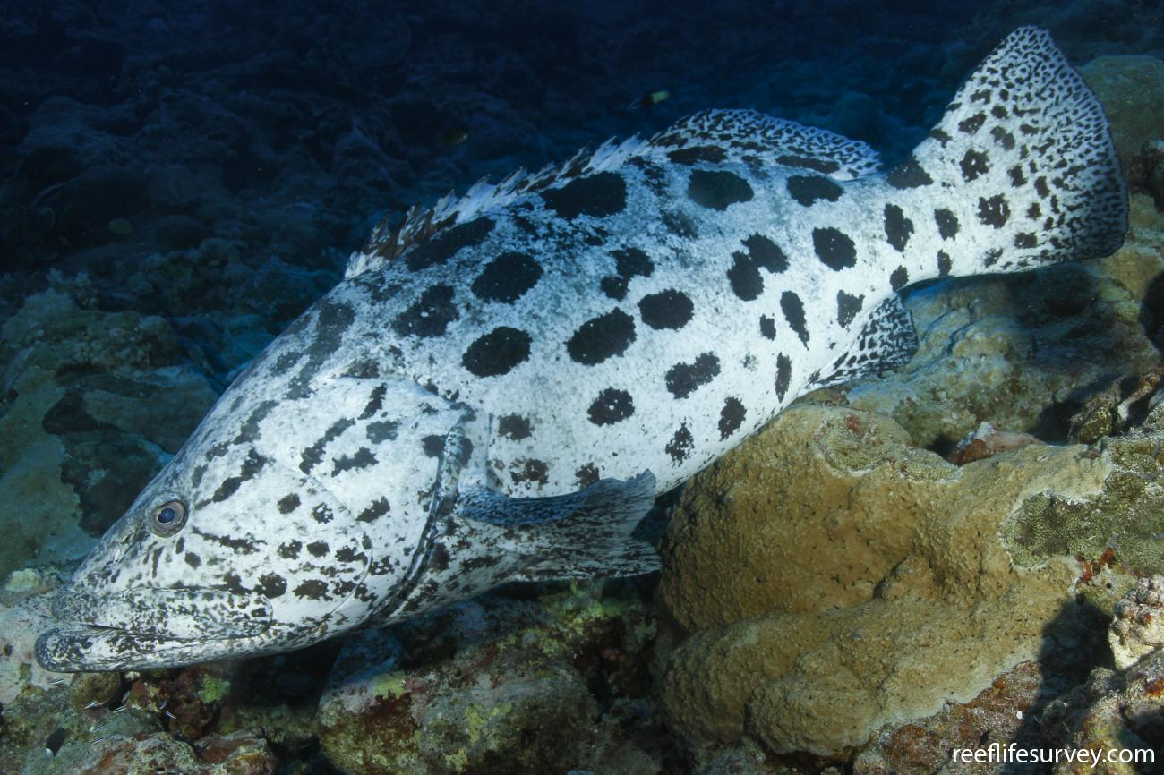 Epinephelus tukula, Coral Sea, Australia,  Photo: Ian Shaw