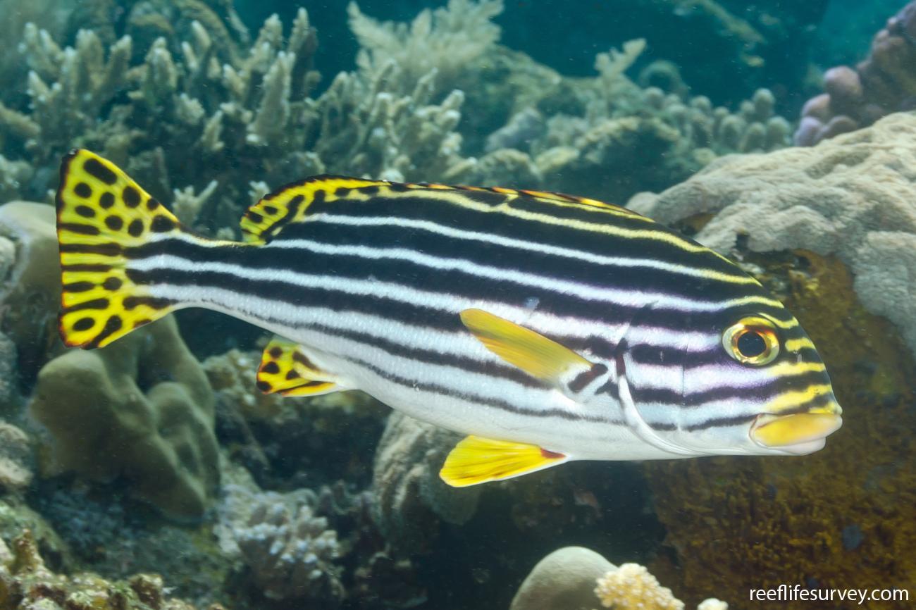 Plectorhinchus vittatus, Bali, Indonesia,  Photo: Ian Shaw