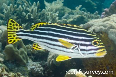 Plectorhinchus vittatus: Bali, Indonesia,  Photo: Ian Shaw