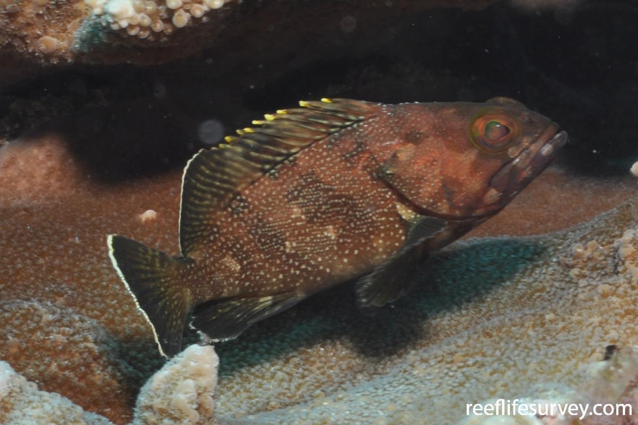 Epinephelus rivulatus, Juvenile, Norfolk Island,  Photo: Graham Edgar