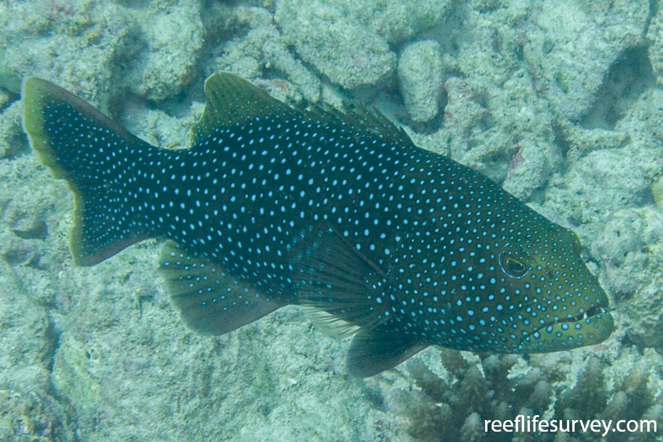 Plectropomus areolatus, Adult, Scott Reef, Western Australia,  Photo: Rick Stuart-Smith