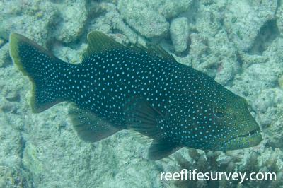 Plectropomus areolatus: Adult, Scott Reef, Western Australia,  Photo: Rick Stuart-Smith