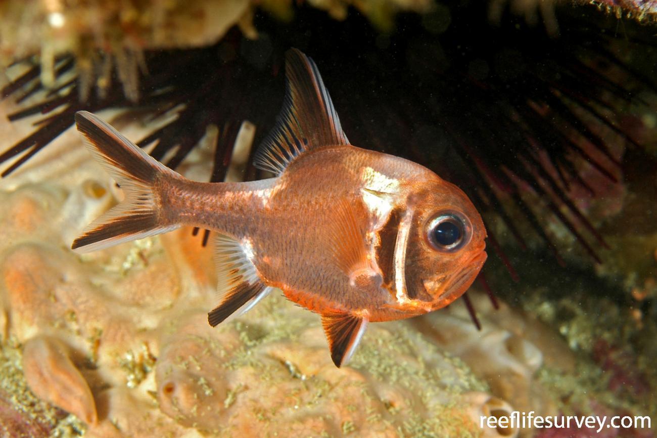 Trachichthys australis, NSW, Australia,  Photo: Ian Shaw