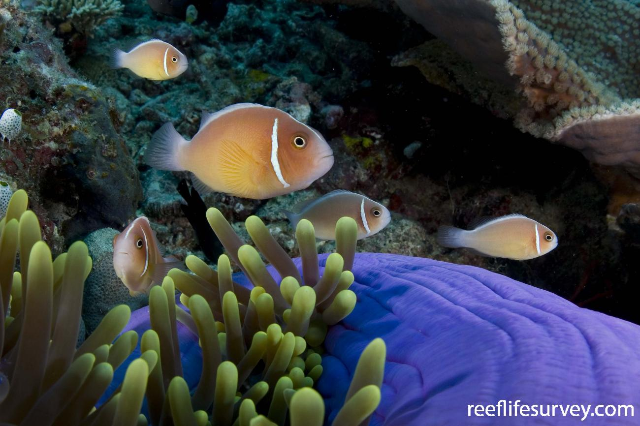 Amphiprion perideraion, Raja Ampat, Indonesia,  Photo: Andrew Green