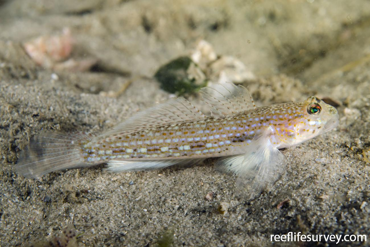 Istigobius hoesei, Port Stephens, NSW,  Photo: Ian Shaw