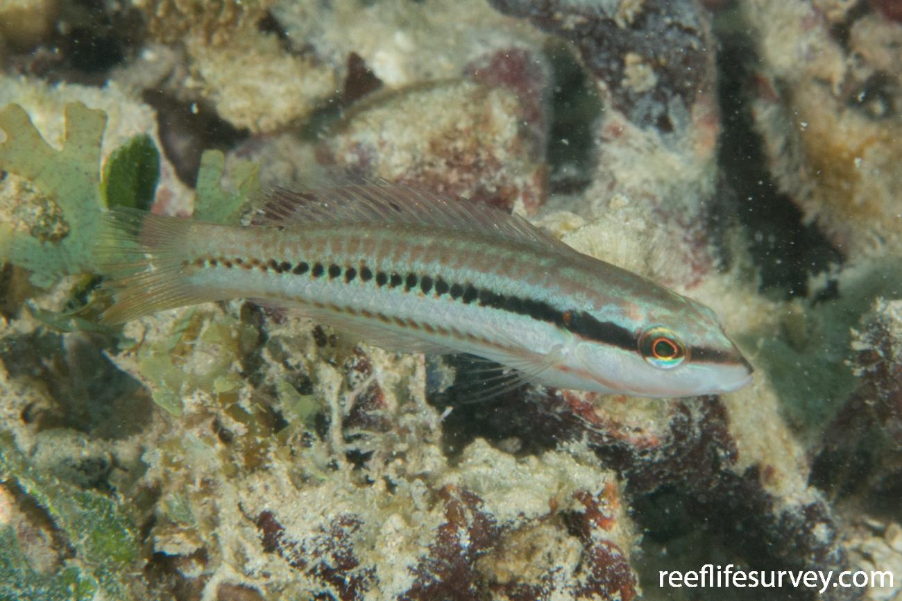 Halichoeres bivittatus, Bocas del Toro, Panama,  Photo: Rick Stuart-Smith
