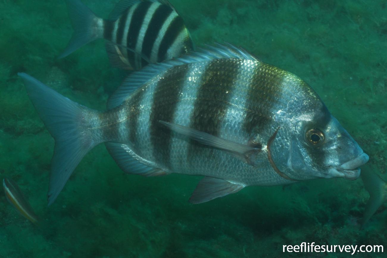 Diplodus cervinus, Banyuls-sur-Mer,  Photo: Rick Stuart-Smith