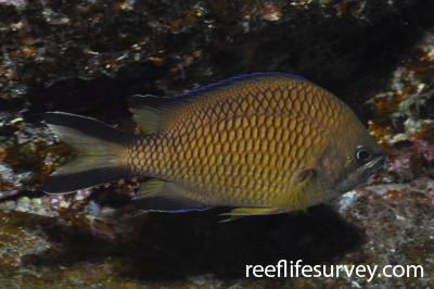 Chromis limbata: Canary Islands,  Photo: Rick Stuart-Smith