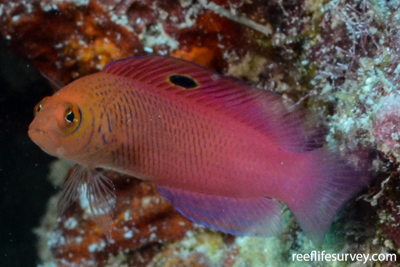 Cypho purpurascens, Coral Sea, Australia,  Photo: Graham Edgar