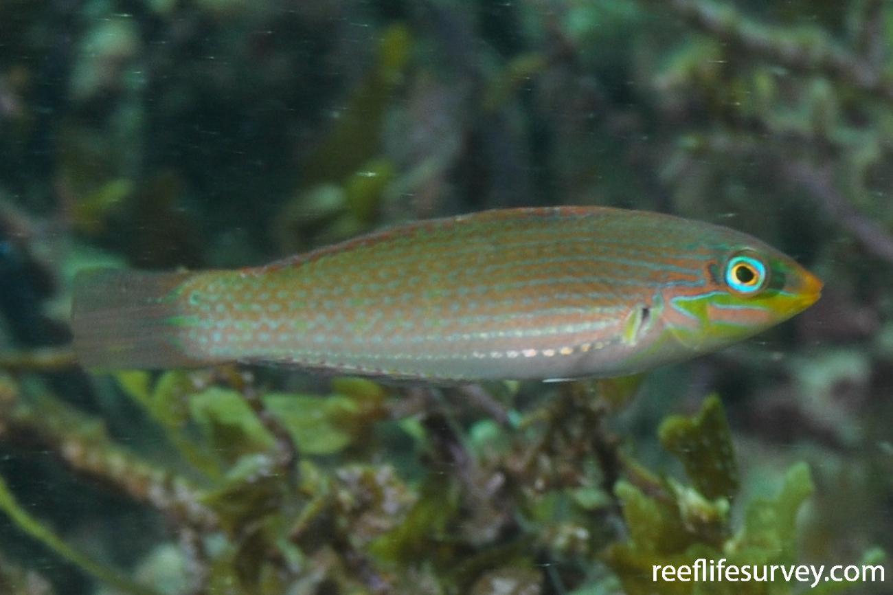 Halichoeres sp. [orientalis], Female, Dampier, WA,  Photo: Rick Stuart-Smith