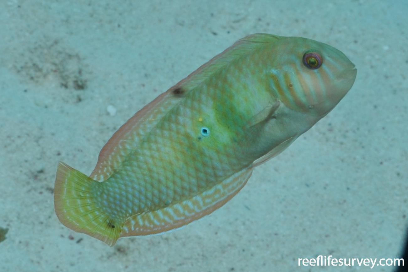 Xyrichtys splendens, Male, Bonaire,  Photo: Rick Stuart-Smith