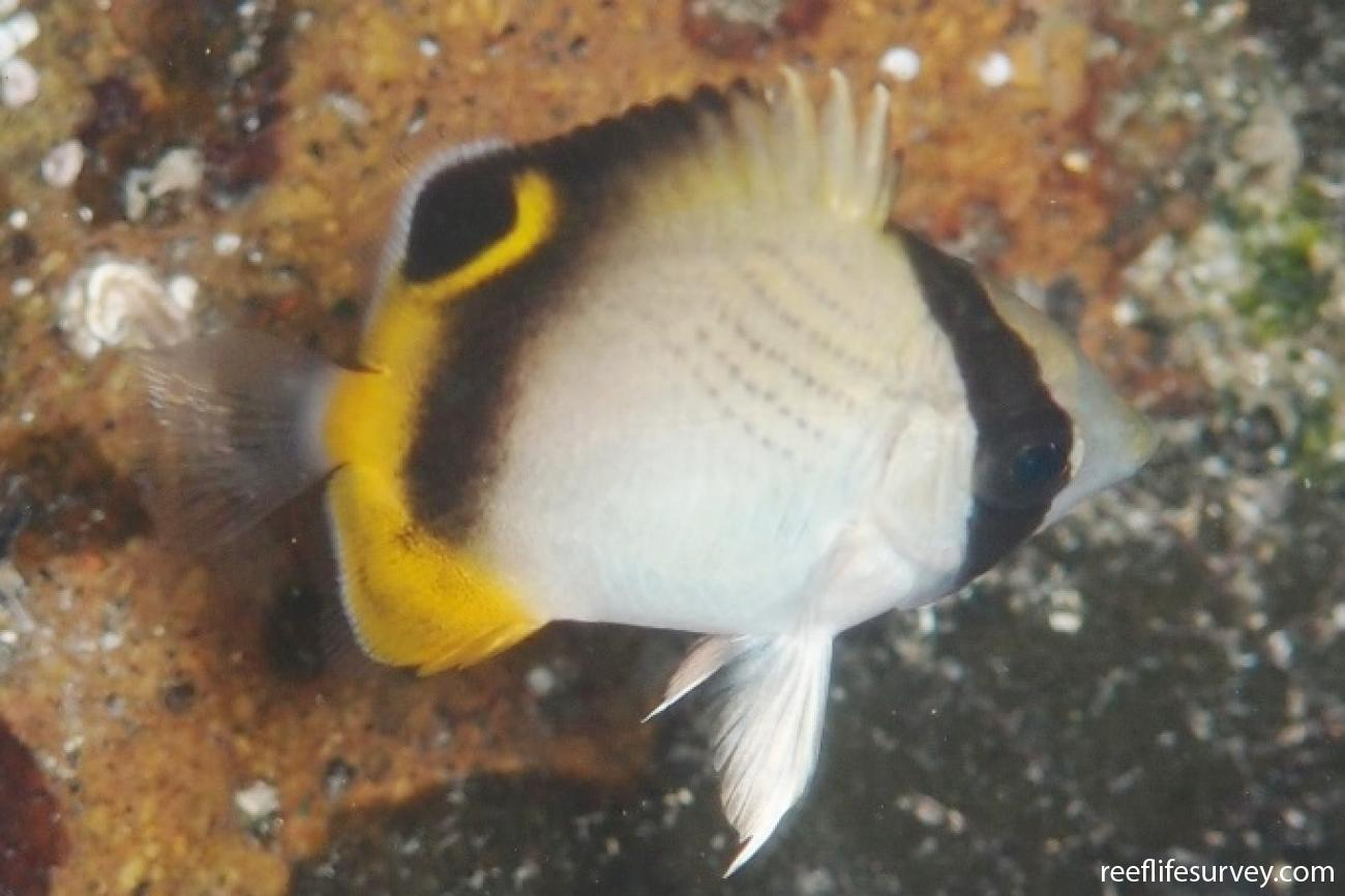Chaetodon vagabundus, Juvenile, NSW, Australia,  Photo: Tom Davis