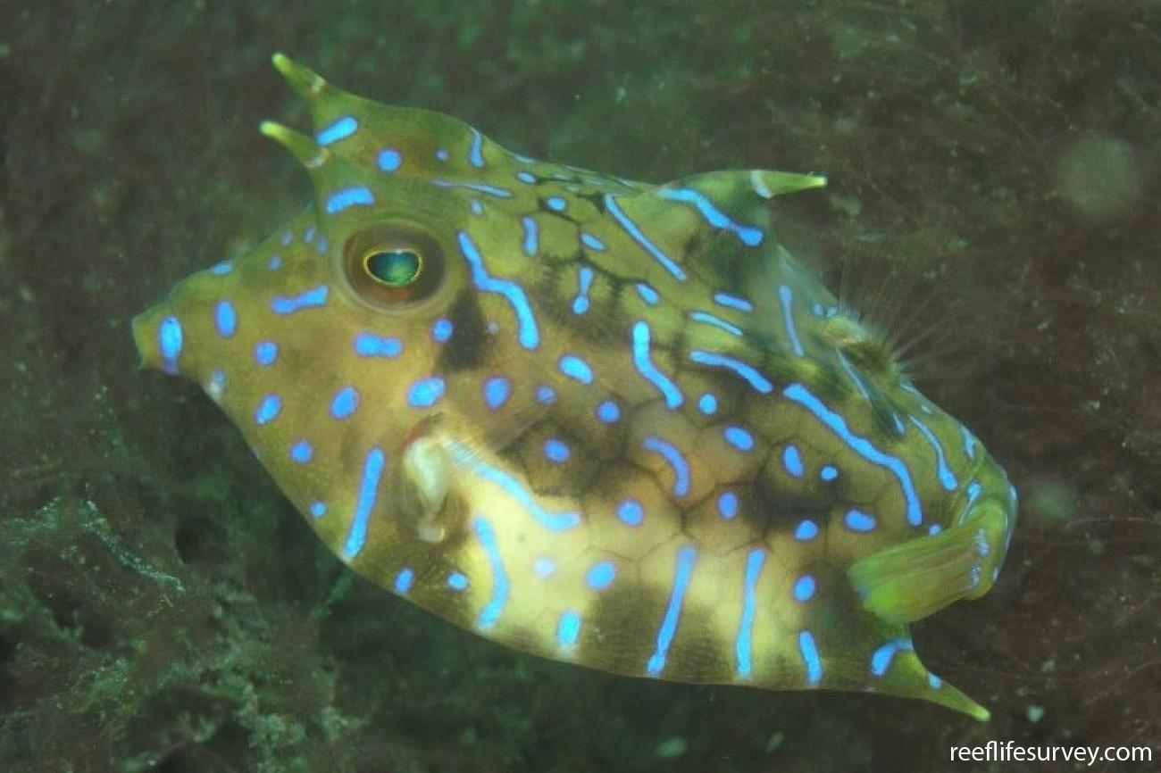 Lactoria fornasini, Port Stephens, NSW,  Photo: Nicola Davis