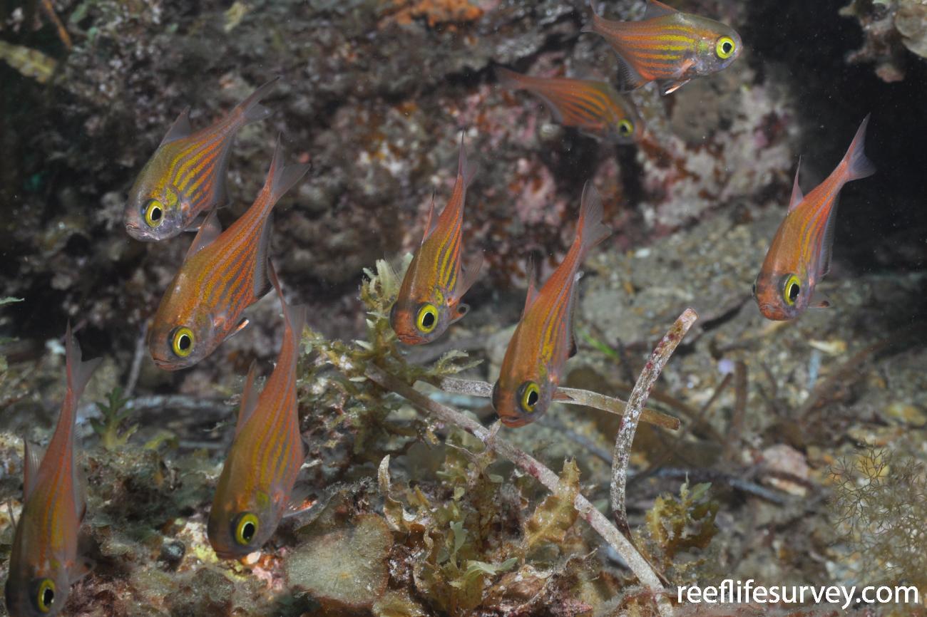 Pempheris ornata, Adelaide, SA,  Photo: Rick Stuart-Smith
