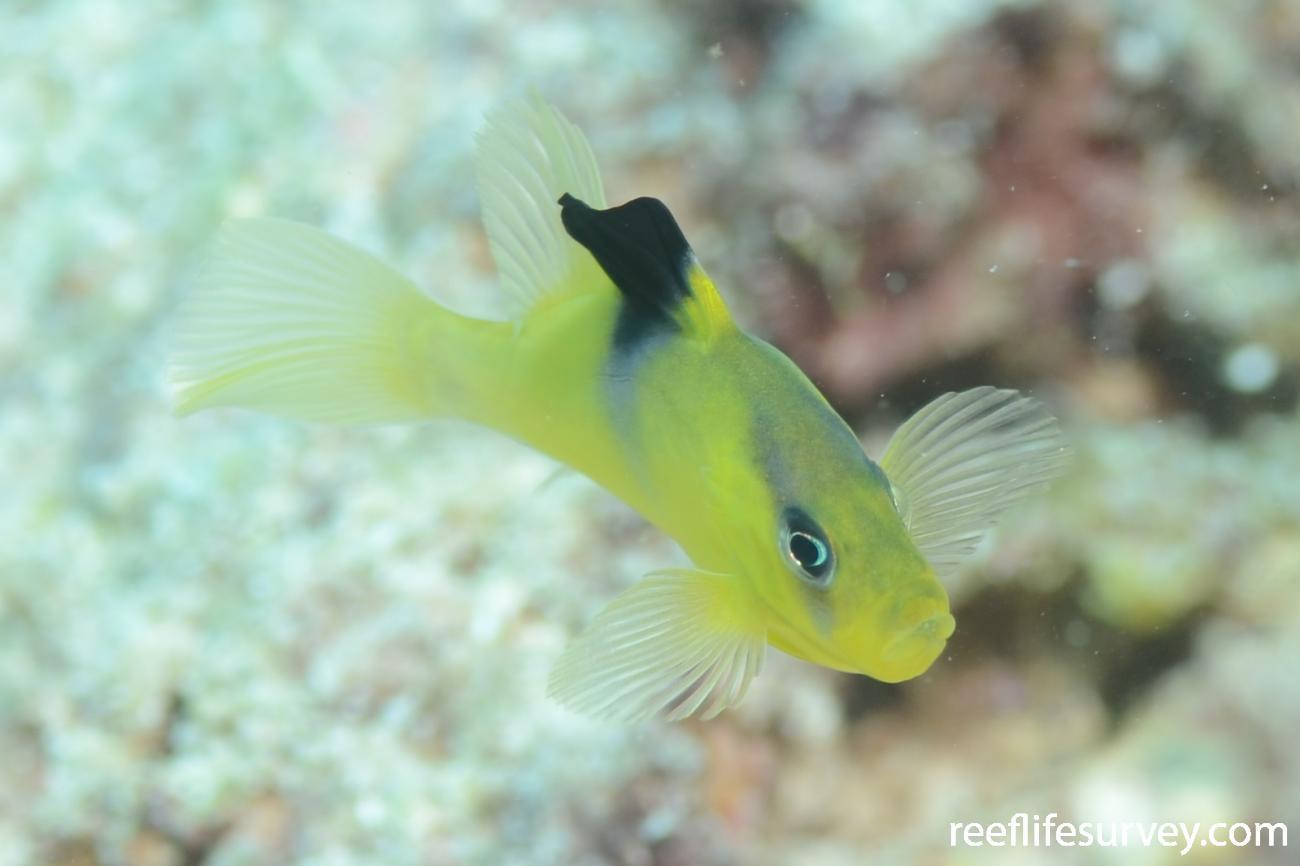 Diploprion bifasciatum, Juvenile, Great Barrier Reef, Cairns, Australia,  Photo: Joe Shields
