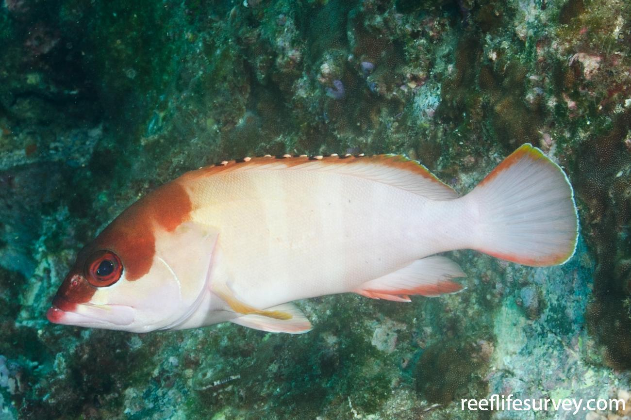 Epinephelus fasciatus, Adult, New South Wales, Australia,  Photo: Ian Shaw