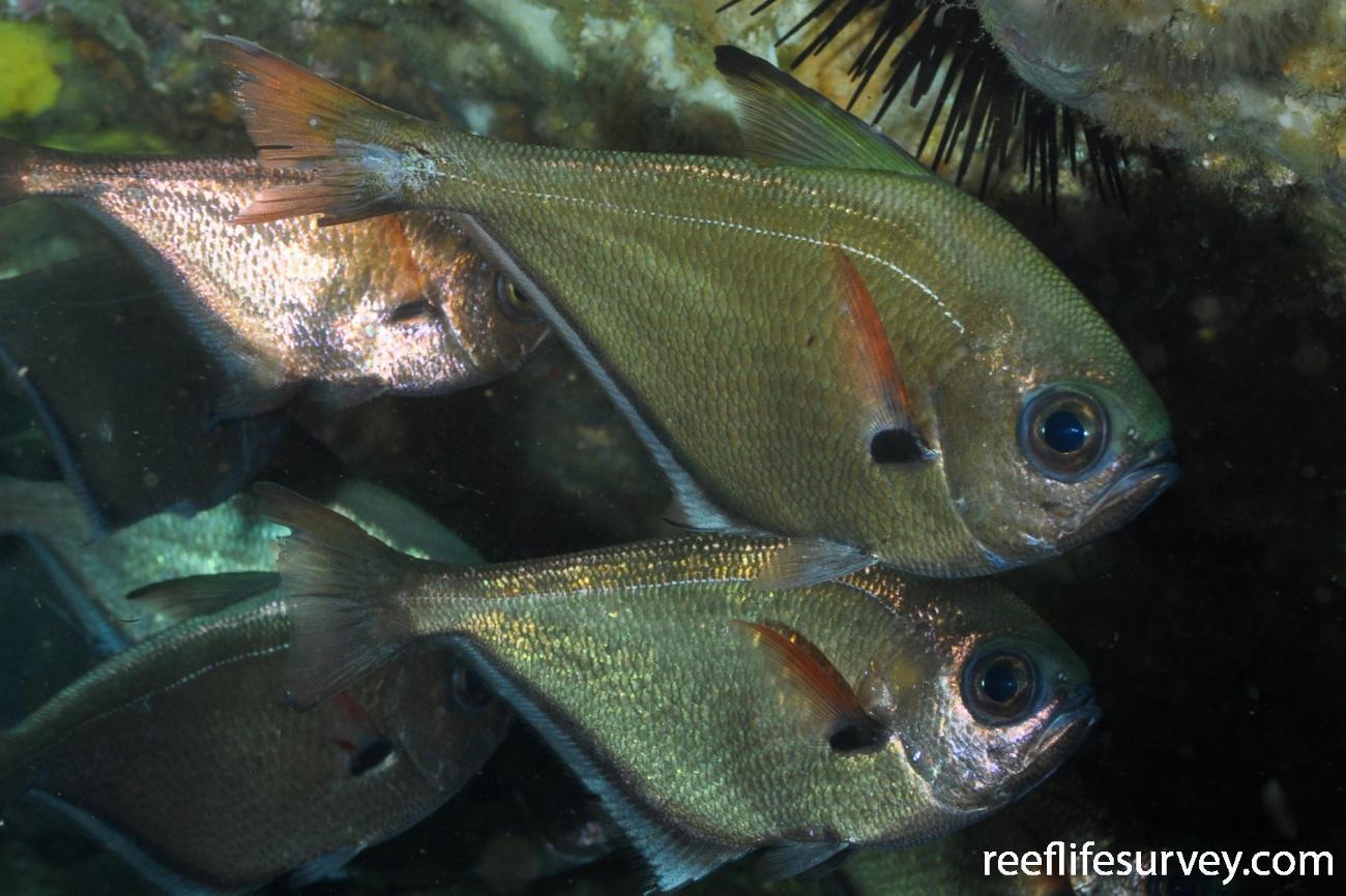 Pempheris oualensis,  Photo: Rick Stuart-Smith