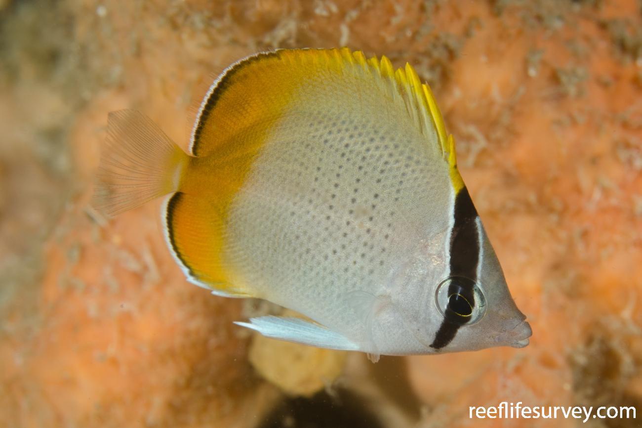 Chaetodon guentheri, Juvenile, NSW, Australia,  Photo: Ian Shaw