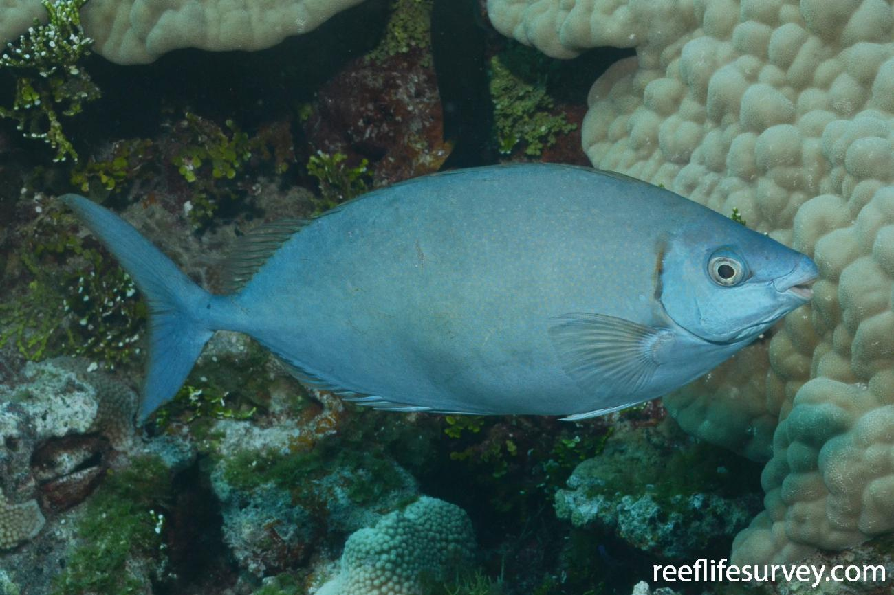 Siganus argenteus, Cook Islands,  Photo: Graham Edgar