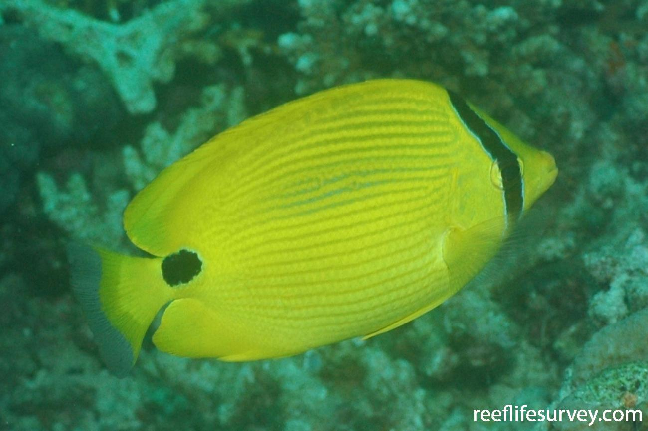 Chaetodon andamanensis, Aceh, Indonesia,  Photo: Graham Edgar