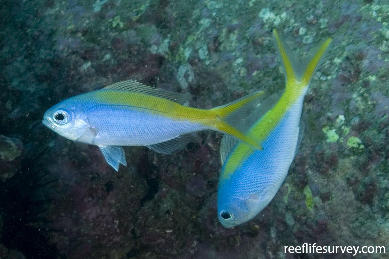 Paracaesio xanthura, Jervis Bay, NSW,  Photo: Andrew Green