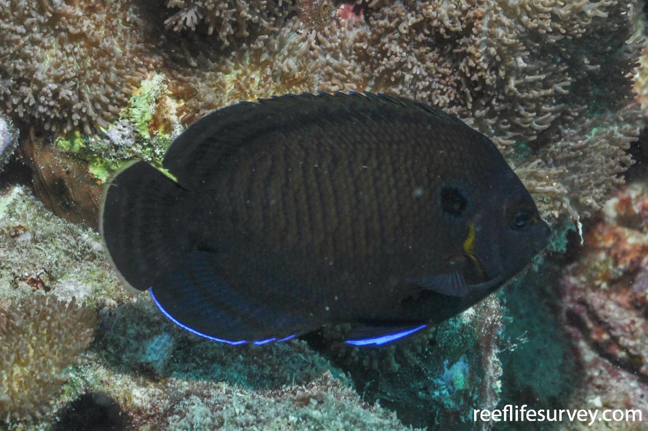 Centropyge multispinis, Seychelles,  Photo: Rick Stuart-Smith