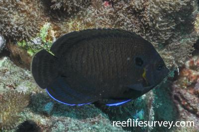 Centropyge multispinis: Seychelles,  Photo: Rick Stuart-Smith