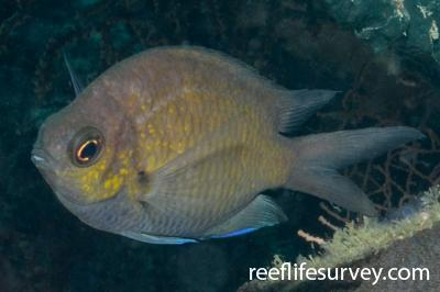 Chromis alpha: Adult.  Photo: Graham Edgar