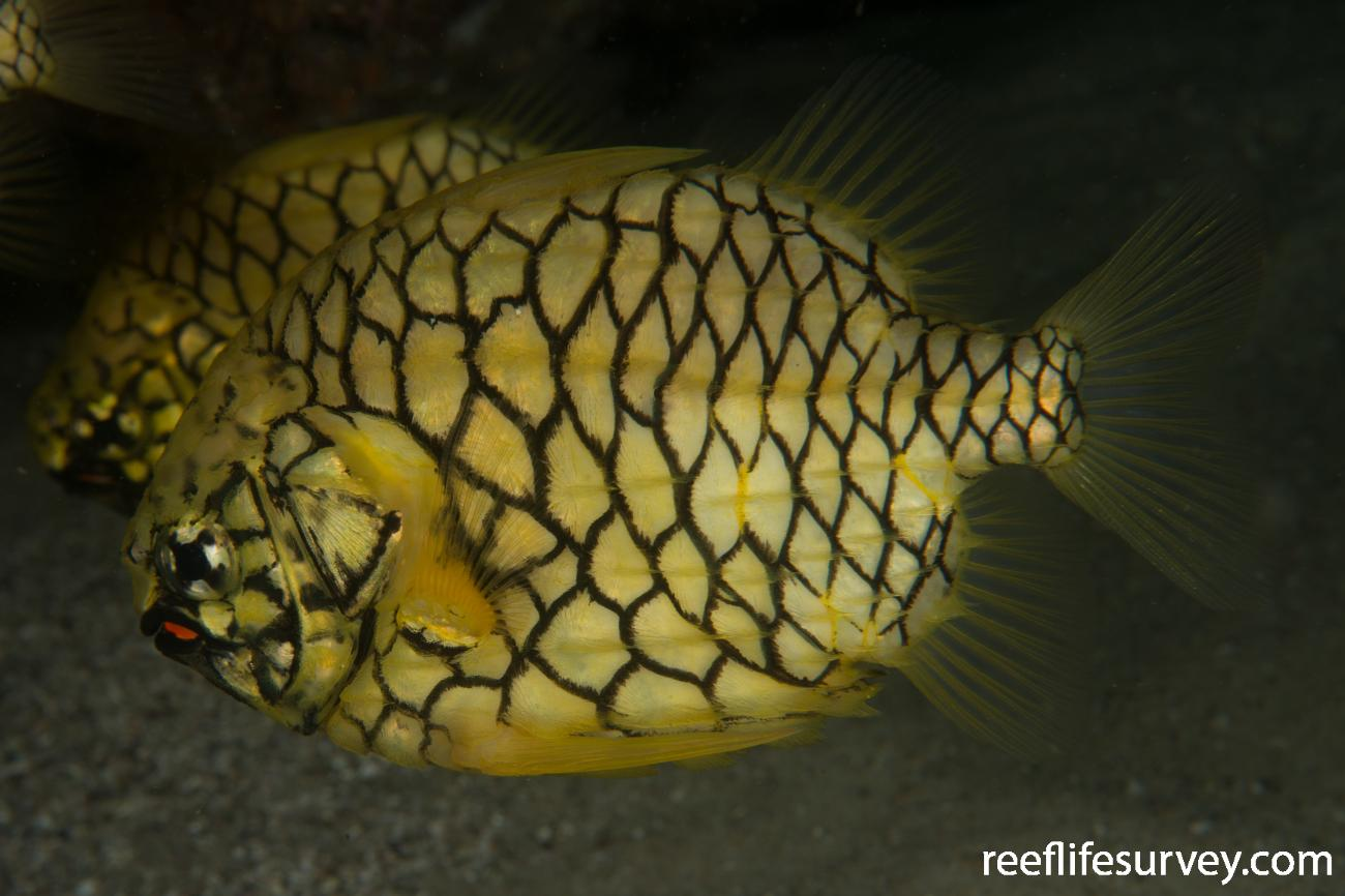 Cleidopus gloriamaris,  Photo: Rick Stuart-Smith