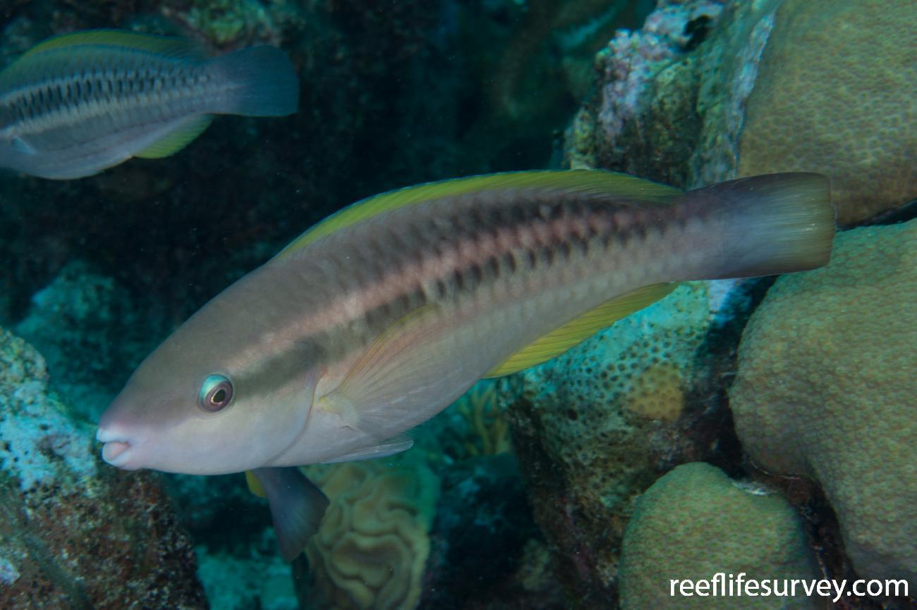 Scarus taeniopterus, Female, Turks and Caicos,  Photo: Rick Stuart-Smith