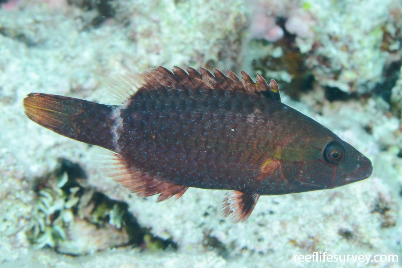 Oxycheilinus unifasciatus, Juvenile, Frederick Reef, Coral Sea,  Photo: Graham Edgar