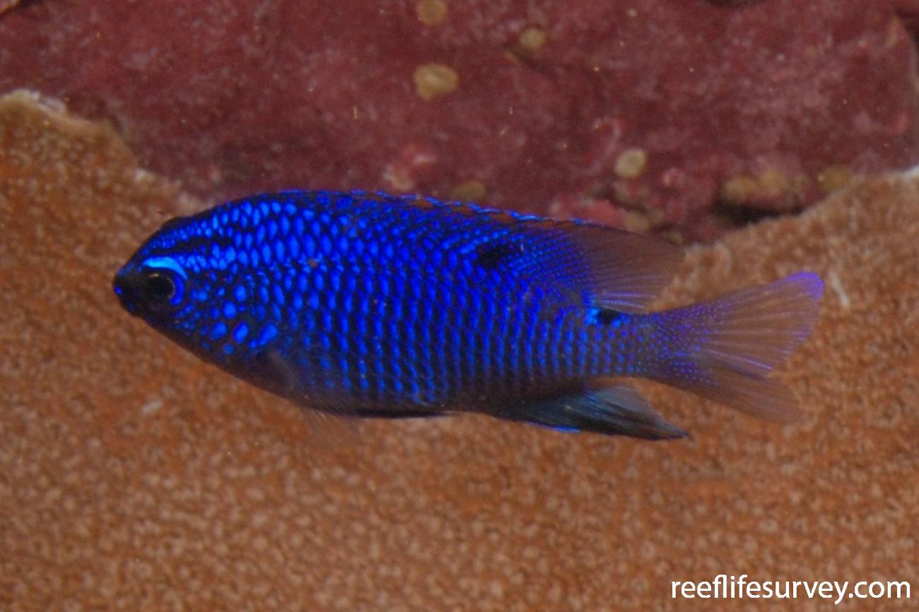 Stegastes acapulcoensis, Juvenile, Machalilla, Ecuador,  Photo: Graham Edgar