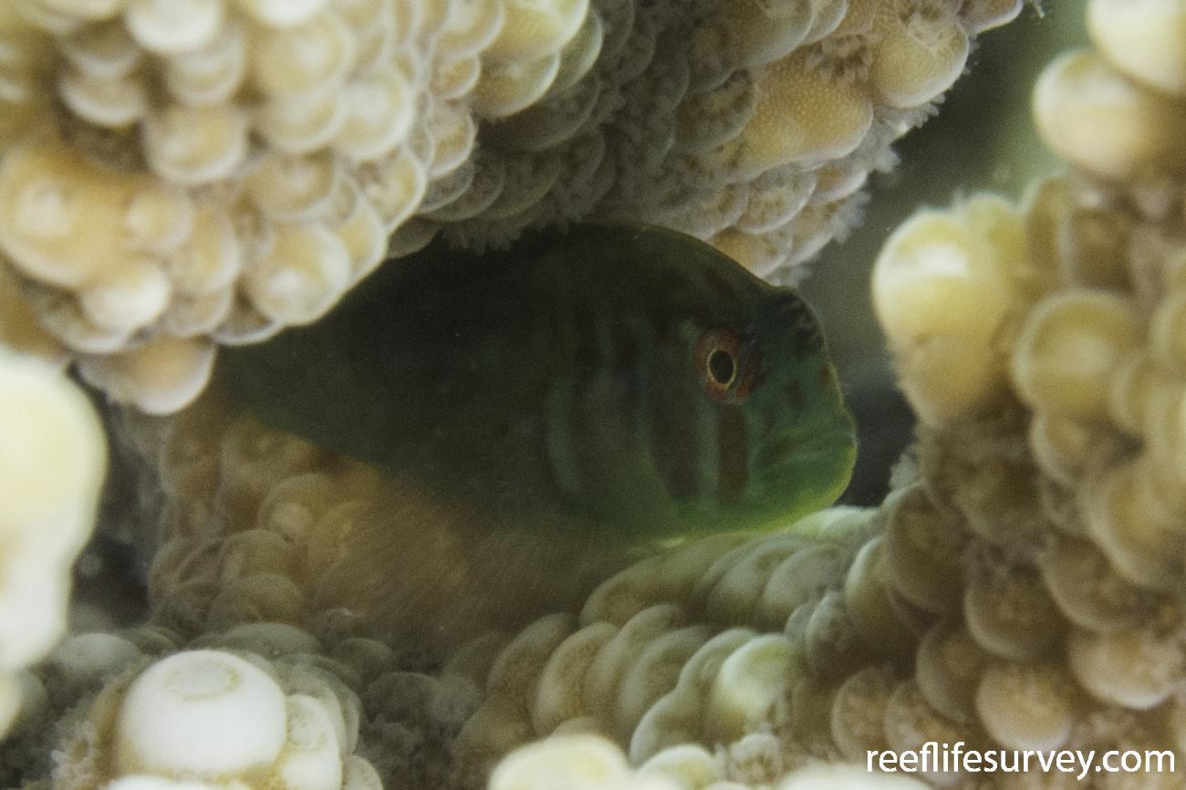 Gobiodon histrio, WA< Australia,  Photo: Rick Stuart-Smith
