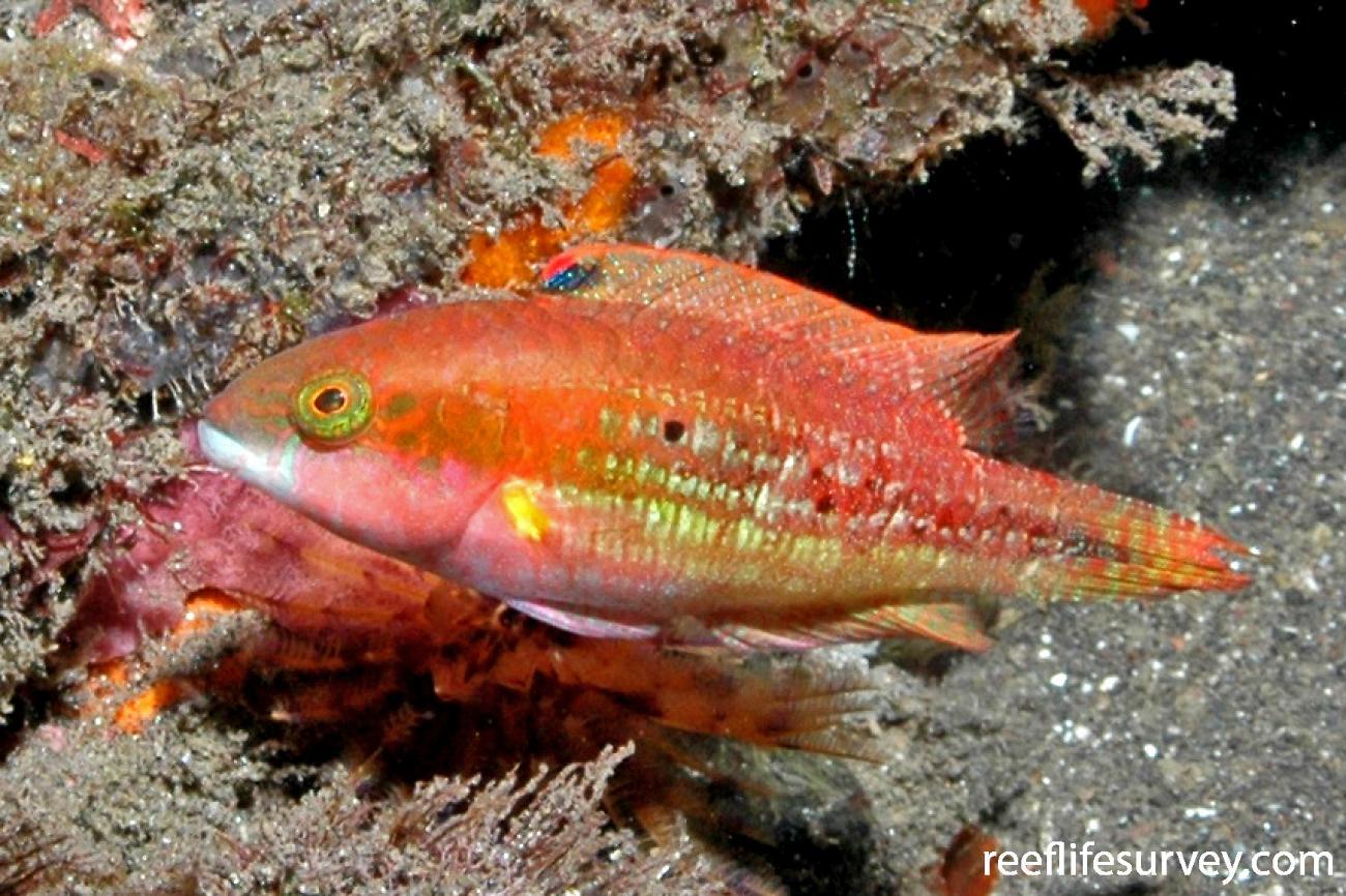 Oxycheilinus bimaculatus, Bali, Indonesia,  Photo: Ian Shaw
