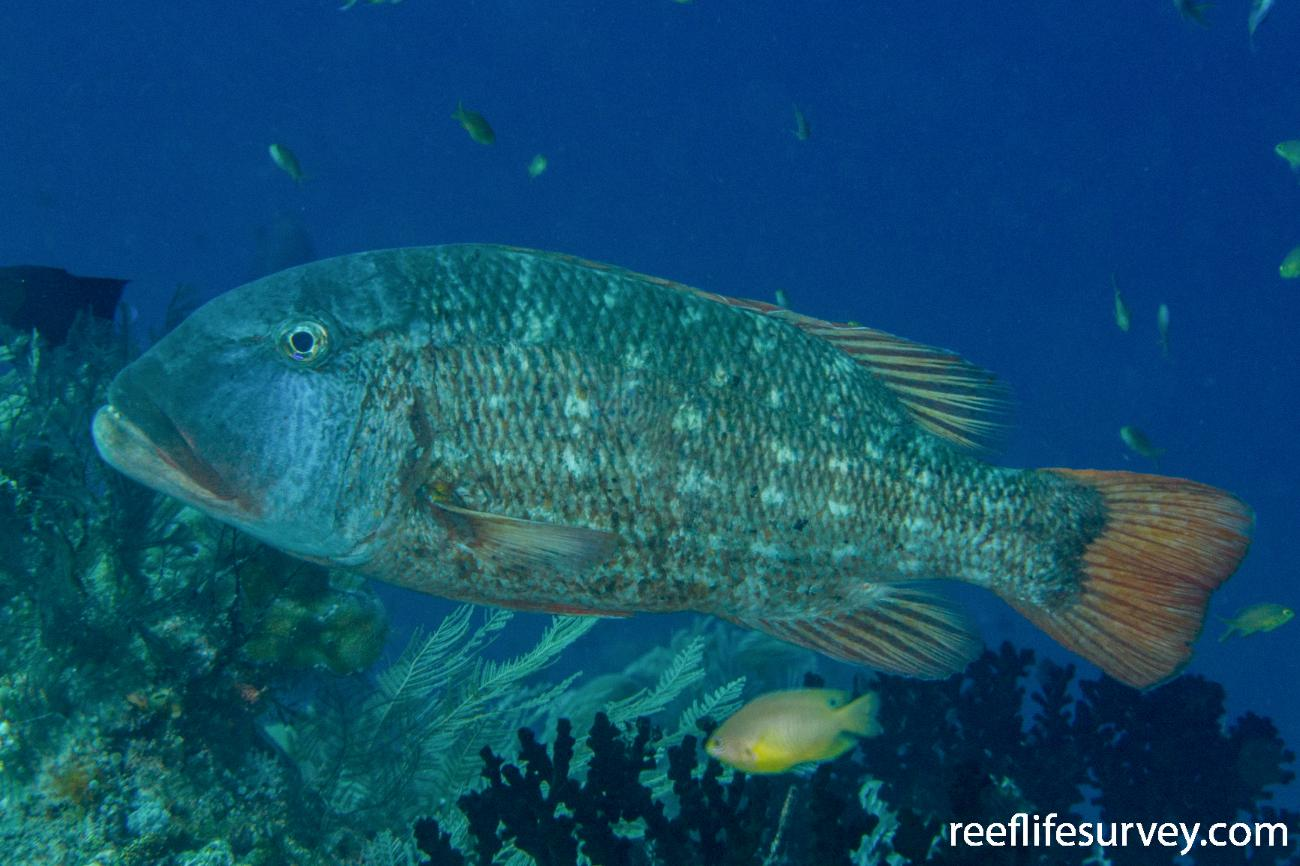 Lethrinus erythracanthus, Raja Ampat, Indonesia,  Photo: Rick Stuart-Smith