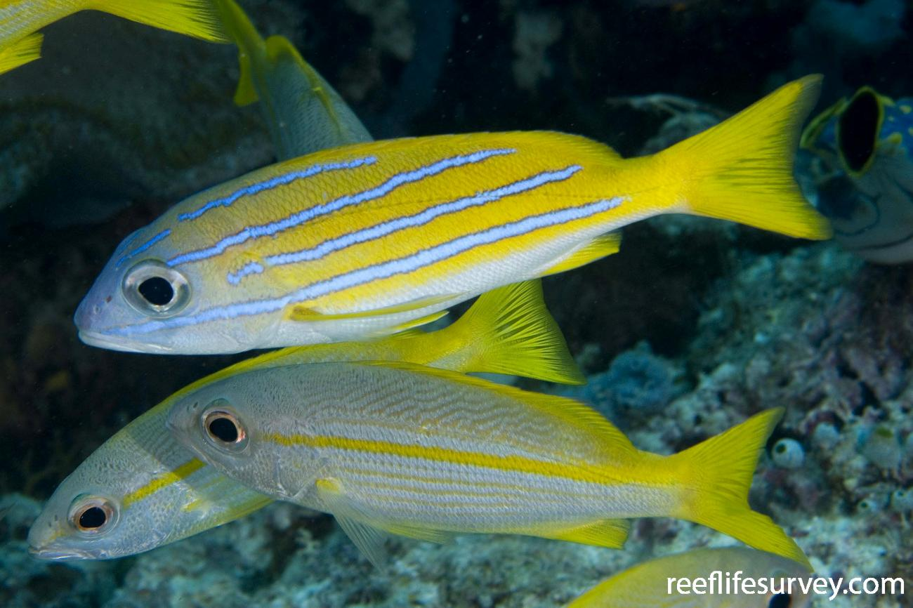 Lutjanus kasmira, With L lutjanus, lower. Raja Ampat, Indonesia,  Photo: Andrew Green