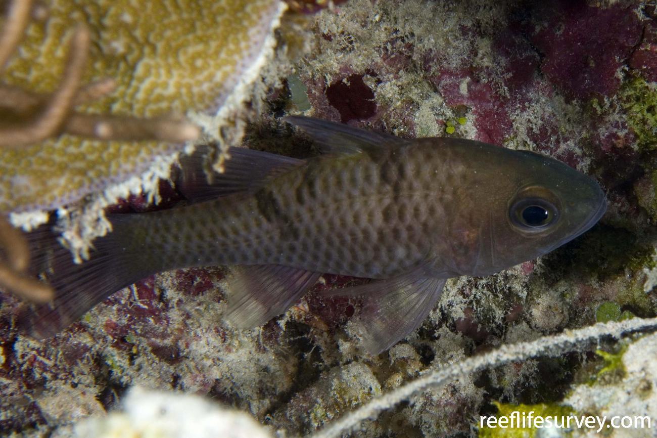 Pristicon trimaculatus, Raja Ampat, Indonesia,  Photo: Andrew Green