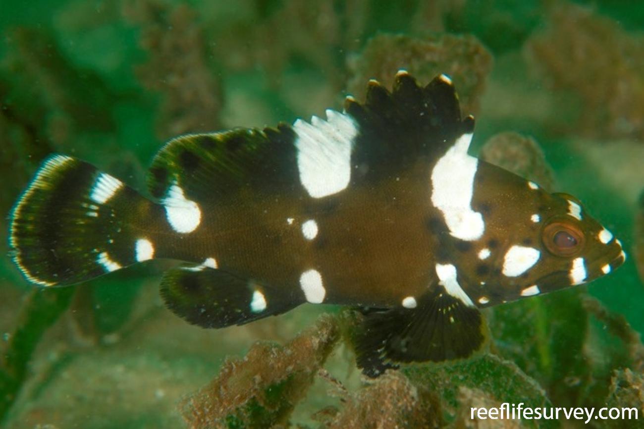Epinephelus maculatus, Juvenile, NSW, Australia,  Photo: Tom Davis